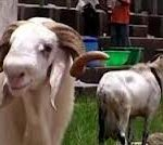 AGRICULTURE: Osun Fattens 2,600 Rams For Eid-El-Kabir Festival