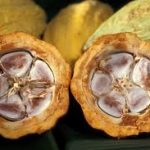 Ede Cocoa Industry Begins Operations Soon - Osun Government