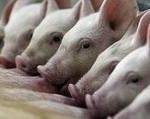 Pig Farming Business In Osun, Another Opportunity For Job And Wealth Creation