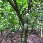 Osun Committed To Development Of Cocoa, Other Produce