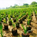 Osun Distributes Oil Palm Seedlings To Farmers