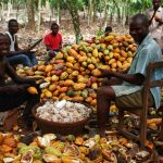 Osun To Boost Cocoa Production With N40m Loan, Free Seedlings