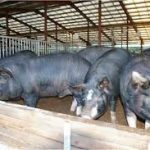 OSUN AIMS TO BOOST PIG FARMING - As Agric Commissioner Prepares To Flag Off Piggery Artificial Insemination In The State