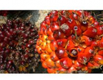 Osun Commissions Two Oil Palm Processing Plants