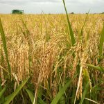 Osun Farmers Enjoined To Participate In Pilot Strategic Grains Reserve